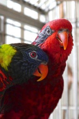 Foster Parrots - Blue-streaked Lory, Rainbow Lorikeet