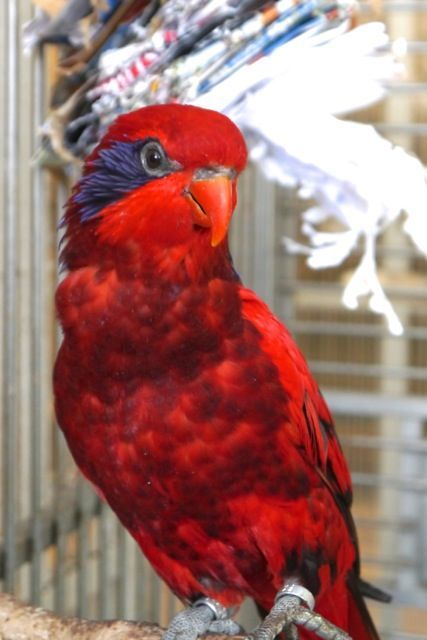 Foster Parrots - Blue-streaked Lory - Big Red is a beautiful, curious, and playful blue-streaked lory