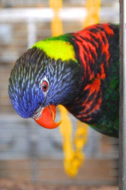 Foster Parrots - Rainbow Lorikeet - Sunset is a very attractive, inquisitive, and adventurous rainbow lorikeet.