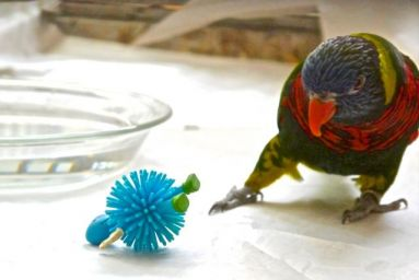 Foster Parrots - Blue-streaked Lory and toy