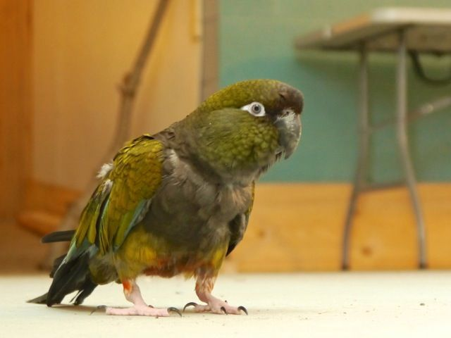 Foster-Parrots-Erica - Erica loves to get out of her cage and explore! (Photo by Brian Jones, www.brianjonesdesign.com)